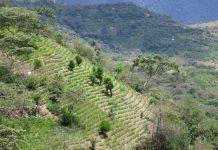 Colombia coca production