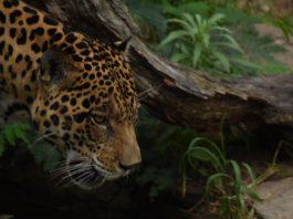 Jaguar Conservation Chiribiquete Colombia