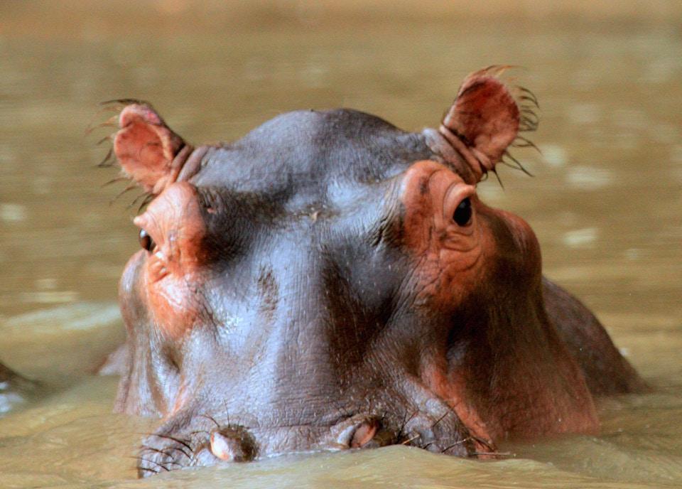 international press, hippos